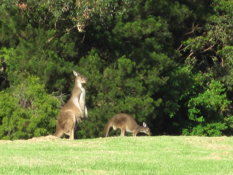 Australie kangaroe